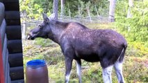 The Moose is Lose - Moose Video for Kids - Wild Animals