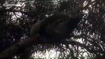 Female koala fends off aggressive male