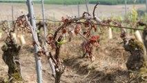 Bourgogne : retour dans les vignes, un mois après le gel