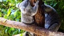 Cute Koalas P ng  Funny Koala Bears [F