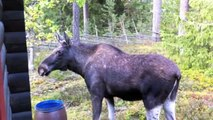 The Moose is Loose - Moose Video for Kids -