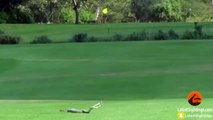 Deux serpents se battent sur un terrain de golf