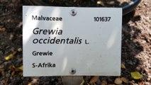 Grewia occidentalis - Grewie - Lavendel-Sternblüte - Kreuzbeere