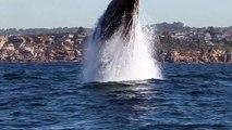 Magnifiques sauts de baleines
