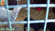 Sheep and lambs happy in his house on farm - Farm s video for Kids - Animais TV