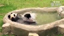 Un bébé panda adorable profite d'un bain très amusant