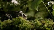 Un papa grenouille sauve 1000 enfants - ZAPPING SAUVAGE