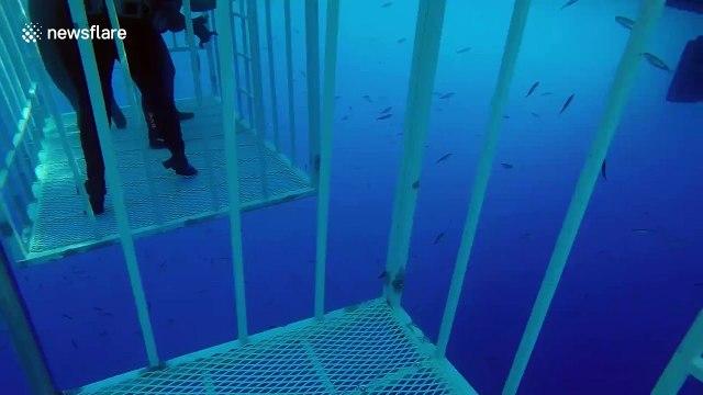 Terrifying moment great white shark breaks cage