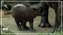Ce bébé hippopotame fait ses premiers pas au zoo de Wroclaw