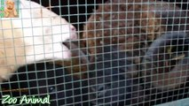 Sheep and lambs happy in his house on farm - Farm animals video for Kids - Animais TV