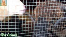 Sheep and lambs happy in his house on farm - Farm animals video for Kids -