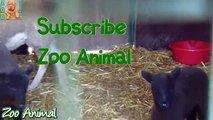 Sheep and lambs haouse on farm - Farm animals video for Kids - Animais TV