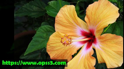 Hibiscus rosa sinensis resource learn about share and discuss hibiscus rosa sinensis resource learn about share and discuss hibiscus rosa sinensis at popflock ccuart Gallery