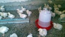 SEMAINE 2 : Elevage poulets de chair