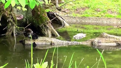 Cute moorhen family- five fluffies , too much for a tre