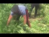 Gioia Tauro (RC) - 15mila piante di marijuana in sei serre, un arresto (30.05.17)