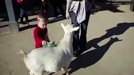 Le pet bruyant d'une chèvre flanque une peur bleue à un petit enfant.