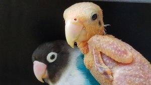 Bald Bird Is Smitten With Lovebird Beau: CUTE AS FLUFF