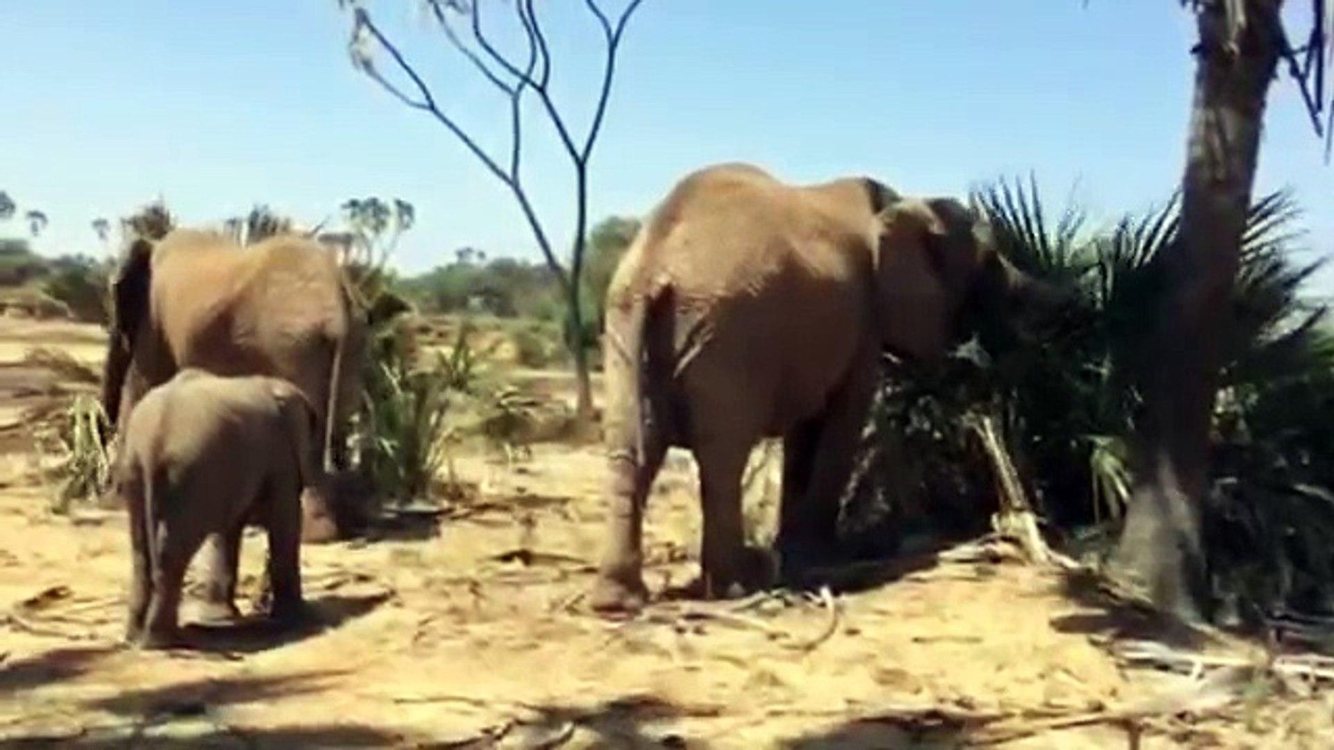 African Elephants - Wildlife in Africa