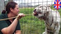 Harimau menyerang penjaga kebun binatang - Tomonews