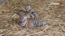 Chatou : naissance de trois bébés tigres au cirque de Venise
