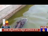 Mysore: Wild Boars In Search Of Water Fall Into Water Ponds Near Devanahalli