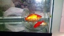 Expérience : Des poissons rouges dans un bocal dans un aquarium
