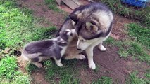 53.Cute Puppies Playing With Their Parents  [Funny Pets]