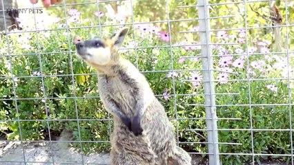 44.Kangaroos  Funny Kangaroos Playing [Funny Pets]