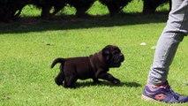 NANDRO chiot mâle Shar Pei couleur noir reflets marron LOF