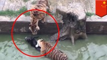 Keledai hidup dilempar ke kandang harimau oleh Investor marah - Tomonews