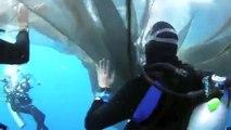 Libération de 4 requins baleines