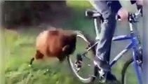 Ce bouc déteste les cyclistes!