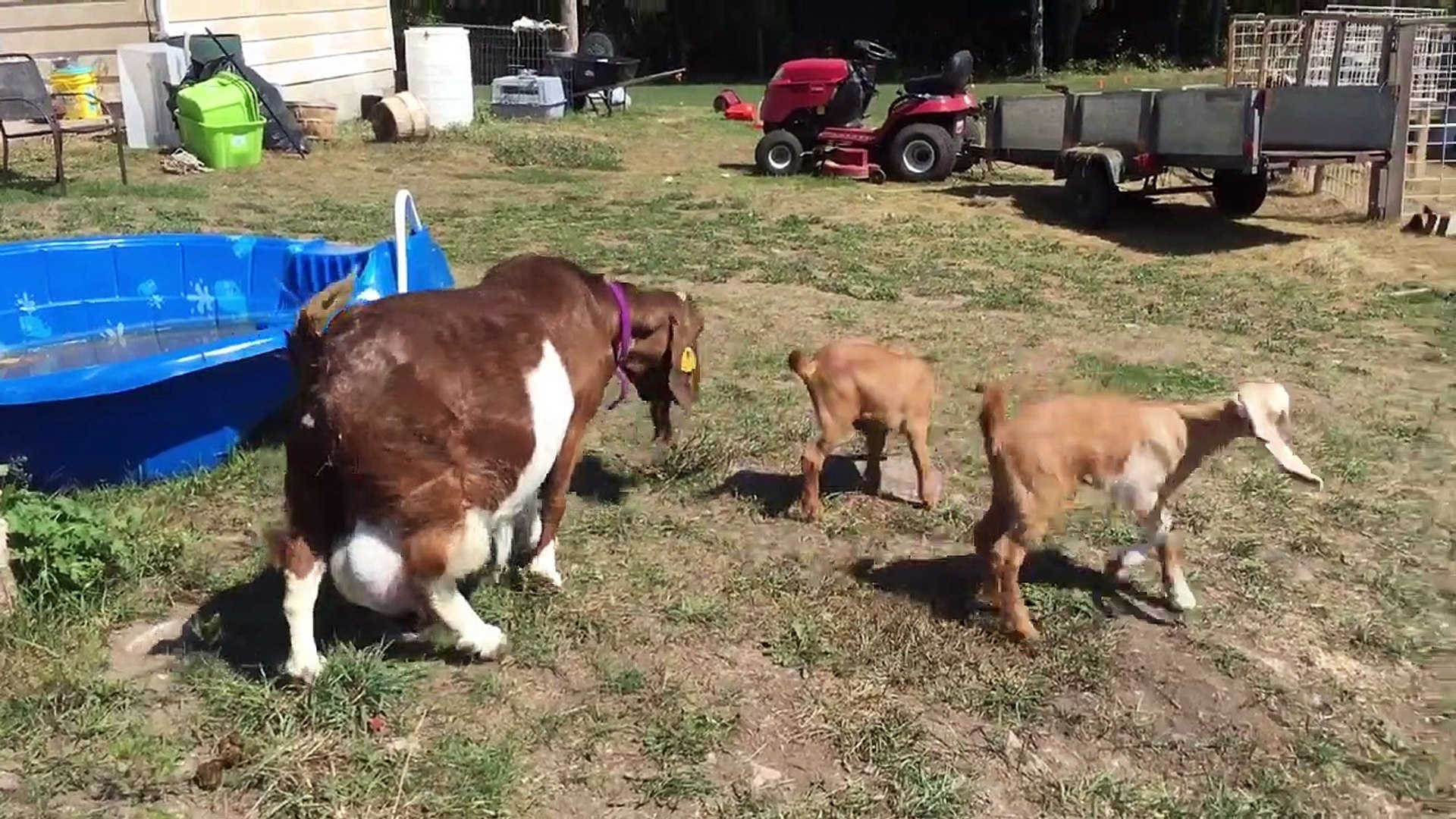 Twin Goat Kids Playing - Mom