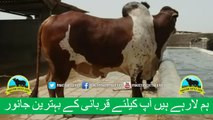 386 || Cow Qurbani for eiduladha || Karachi Sohrab Goth || Cow Mandi