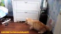 Funny Videos 2017 Funny Cats - Funny  - Funny Videos