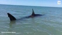 Ce touriste tombe sur un requin blessé en bord de plage