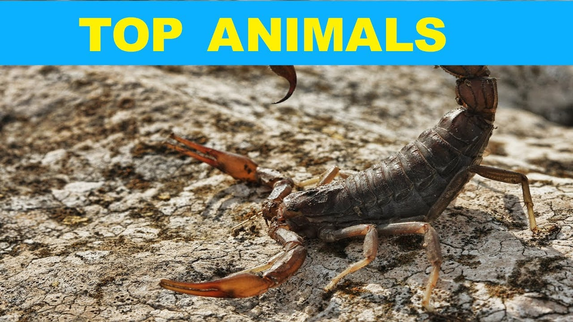 Three of the Most Dangerous Scorpions in the World   TOP ANIMAL