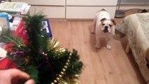 Bulldog anglais rigolo qui a peur du sapin de Noël