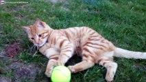 Chat drôle qui joue à griffer et mordre une balle de tennis
