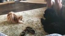 Un petit chien veut jouer avec un chiot bien plus gros que lui !