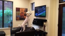 Poodle Watches Triple Crown