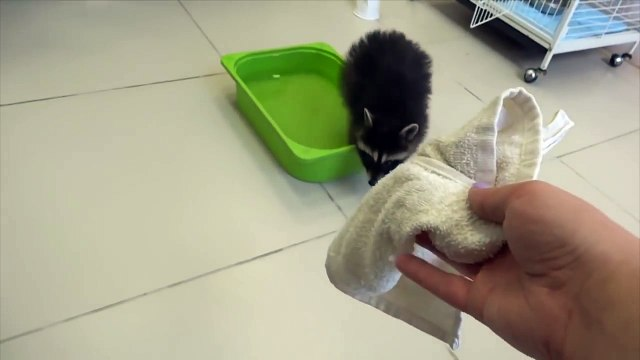 Raccoon Washes Towel - Raccoon Maid