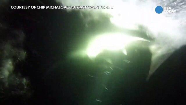 Fishermen tags huge great white shark off Hilt