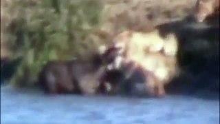 Big Battle Water Buffalo vs Giant Lion
