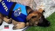 Ce chien policier est bien trop gentil pour etre un chien policier...