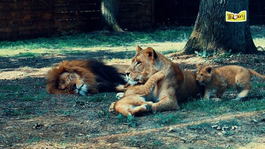 Lionceaux au Parc de Thoiry