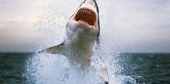 Saut du grand requin blanc- requin blanc filmé en saut