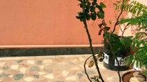 Comment à croître des roses de boutures tige Coupe Comment à propager des roses