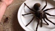 Une araignée géante qui va vous terrifier : Goliath the Giant